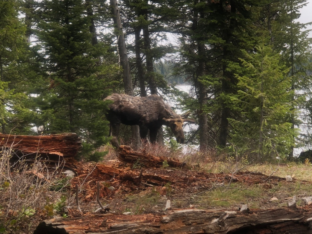 Moose in Grand Teton National Park, WY